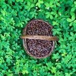 Brownie seeds Guanacaste